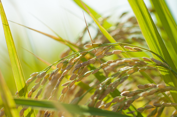 秋川牧園の飼料米プロジェクト!健全な食べ物づくりにつながる取り組みに注目